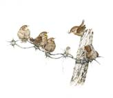 Young_Wrens